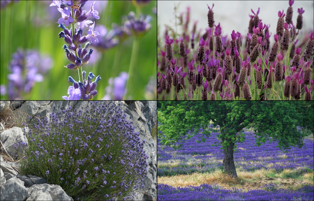 Lavender cultivation
